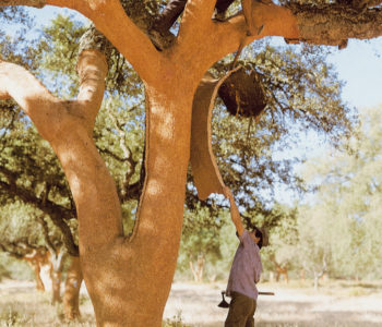 The cork bark is cerefully harvested from the trees without harming the trees.